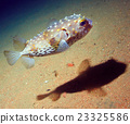 puffer fish bowl 23325586