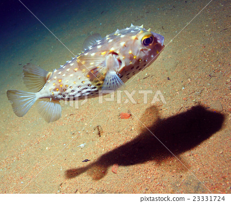 puffer fish bowl 23331724