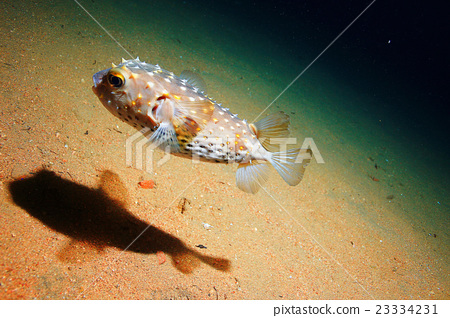 puffer fish bowl 23334231