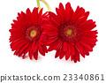 Fresh Gerbera flowers. 23340861