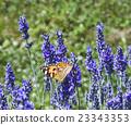 Lavander Flower Polination 23343353