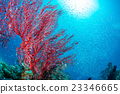 珊瑚 紅扇珊瑚 海 23346665