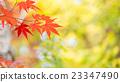 단풍, 단풍 나무, 단풍나무 23347490