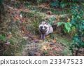 狸 動物 秋天 23347523