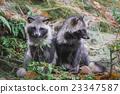 狸 動物 秋天 23347587