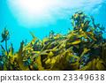海藻 水下照片 羽山 23349638
