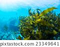 海藻 水下照片 羽山 23349641