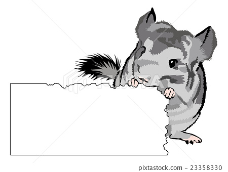 young Chinchilla nibbling on cardboard 23358330