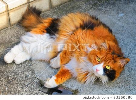 히말라야와 비슷한 장모 종의 잡종 삼색 털 고양이 23360390