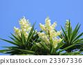joshua tree, yucca, sky 23367336