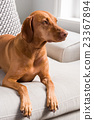 Hungarian Vizsla lying on sofa facing right 23367894