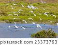 sea gulls, Parc Regional de Camargue, Provence 23373793