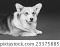 Beautiful welsh corgi dog 23375885