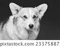 Beautiful welsh corgi dog 23375887