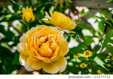 玫瑰«黃金慶典» 23377715