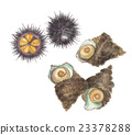 sea urchin, turban shell, watercolor painting 23378288