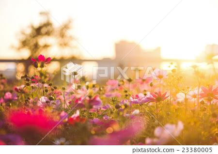 夕陽,花園,植物,花,草,garden,,Sunset, flowers,  plants 23380005