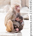 Baboon mother and her little one 23390385