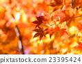 Brilliant autumn leaves 23395424