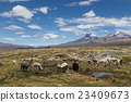 Lamas and Alpacas in Sajama National Park 23409673