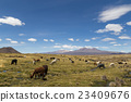 Lamas and Alpacas in Sajama National Park 23409676