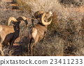 Desert Bighorn Sheep Rams 23411233