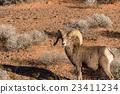 Desert Bighorn Sheep Ram 23411234