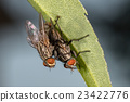 isolated fly mating on the black background 23422776
