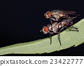 isolated fly mating on the black background 23422777