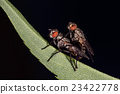 isolated fly having sex on the black background 23422778
