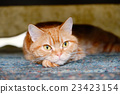 american shorthair, cat, pussy 23423154