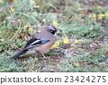 松鴉 野生鳥類 野鳥 23424275