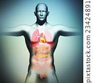 Human body model and internal organs 23424891