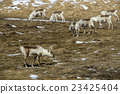 Herd of reindeer in Iceland 23425404