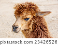 Close up of brown alpaca. 23426526