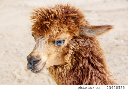 Close up of brown alpaca. 23426526