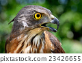 Small Changeable Hawk Eagle Crested Hawk Eagle 23426655