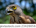 Small Changeable Hawk Eagle Crested Hawk Eagle 23426656