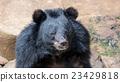 close-up of the black bear. 23429818