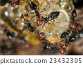 Red head ant honeypot Myrmecocystus close up 23432395