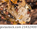 Red head ant honeypot Myrmecocystus close up 23432400