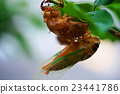 蝗蟲 蟬 蟲子 23441786