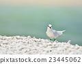 鷗類 鳥兒 鳥 23445062