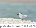 鷗類 鳥兒 鳥 23445070