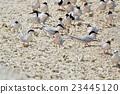 鷗類 鳥兒 鳥 23445120