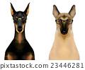 动物 牧羊人 杜宾犬 23446281