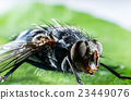 Bluebottle fly macro 23449076