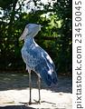 鲸头鹳 禽 鸟 23450045