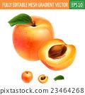 apricot, vector, fruit 23464268