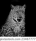 Leopard portrait 23467777